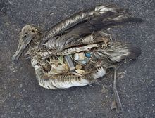 Toter Albatross mit Plastik im Magen (Foto von Chris Jordan). Quelle: Chris Jordan via U.S. Fish and Wildlife Service Headquarters, via Wikimedia Commons